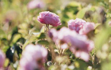 Rose Picking, Turkey